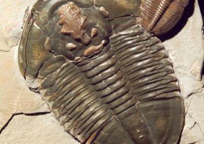 Asaphiscus Elrathia