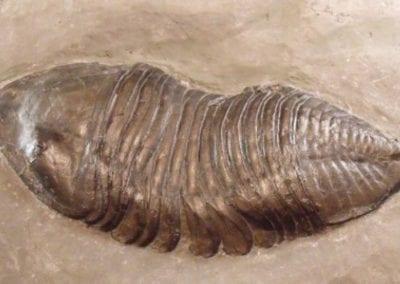 Trimurus caleb