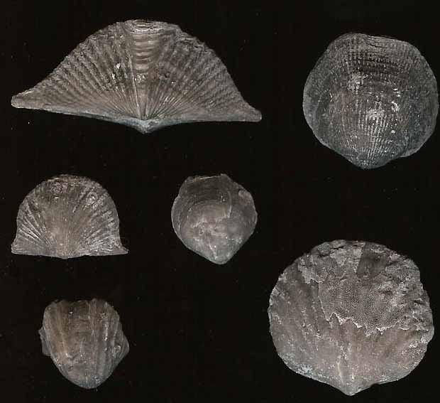 Fossil of the Month January Brachiopods